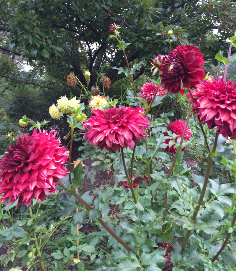 Dahlias blooming today in Sherwood Gardens.