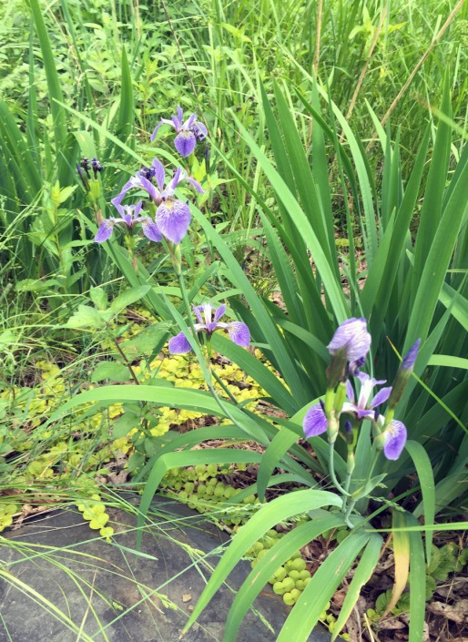 Blue flag iris in the bog garden, along with creeping jenny planted last summer. It's everywhere!