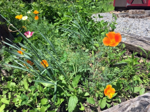 California poppies (I know, not native) planted from seed last fall.
