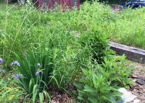 A bigger view of the bog garden. 3 years in, it's finally starting to look like something.